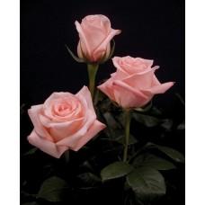 Букет из 15 розовых роз Ангажемент
