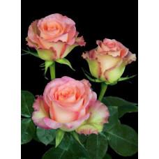 Букет из 15 бело-розовых роз