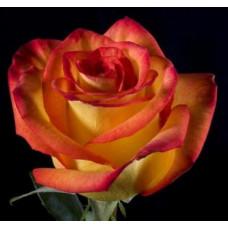 Букет из 15 желто-красных роз Хай-Мэджик