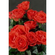 Букет из 15 коралловых роз Пассадена