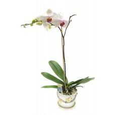 Фаленопсис (орхидея) в горшке