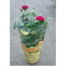Цветущая Роза в горшке