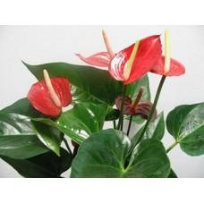 Цветок в горшке Антуриум Андре (Andre)