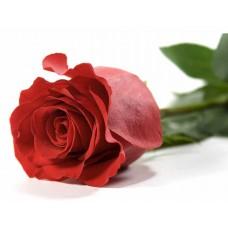 Одна красная роза